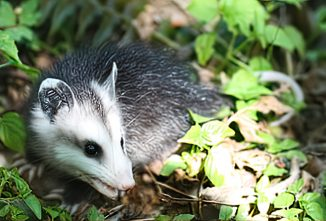 oppossum-what-eats-bees