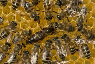 What Happens When the Queen Bee Dies?
