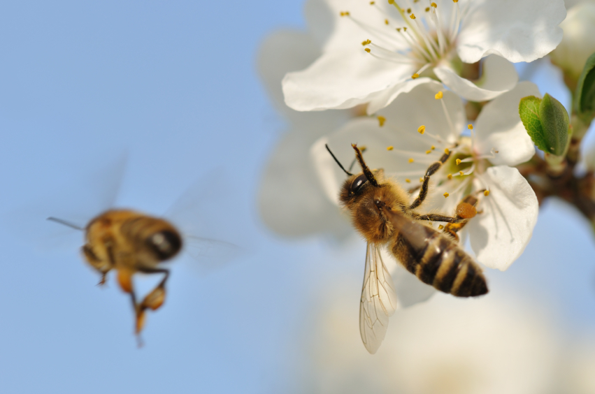 Why Are Bees Declining?
