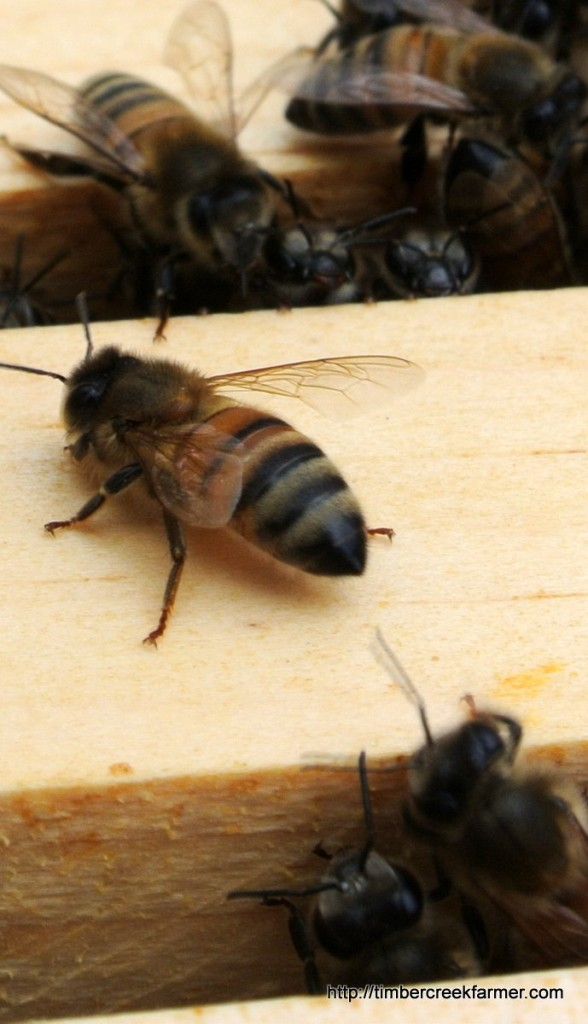 honey-bees-dying