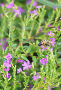 early-flowering-plants-for-bees