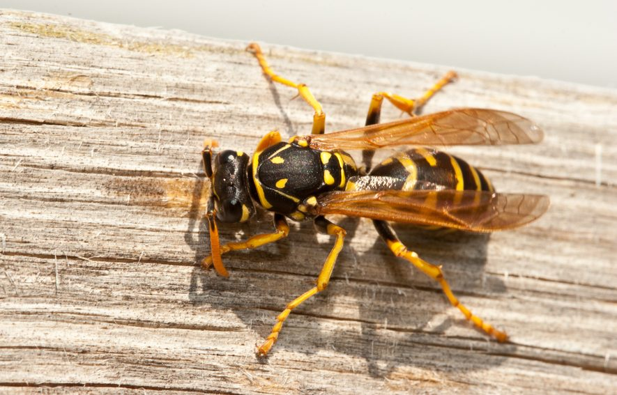 yellow-jackets-in-hive