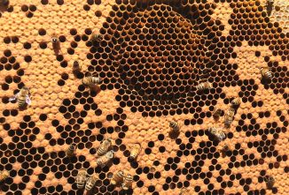 Hygienic Bees Smell Disease and Do Something About It