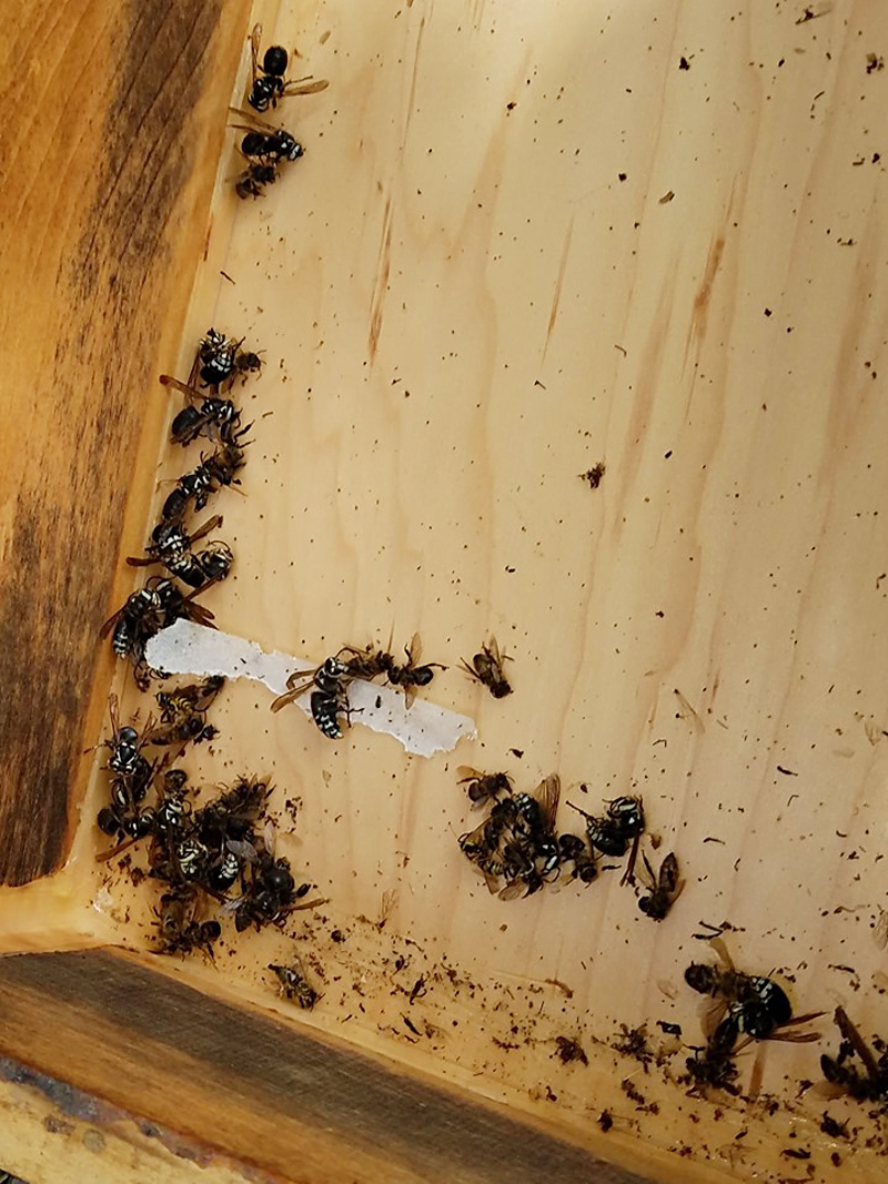 Why Are There Bald-Faced Hornets in my Top Feeder?
