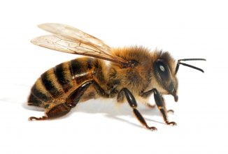 Can Different Species of Bees Mate?