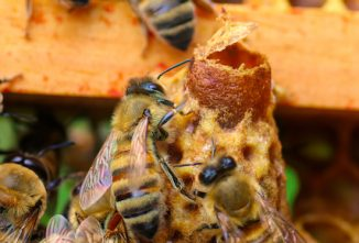 On a Frame of Emerged and Capped Queen Cells, Will the Workers Destroy the Capped Cells?